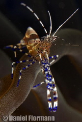 Spotted cleaner shrimp chilling out by Daniel Flormann 